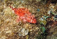 Madeira rockfish Stock Images