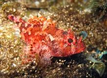 Madeira rockfish Stock Photo