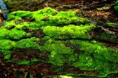 Madeira textured com musgo verde Imagem de Stock Royalty Free