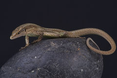 Madeira wall lizard / Teira dugesii Stock Images