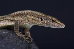 Madeira wall lizard / Teira dugesii Royalty Free Stock Image