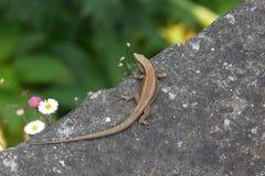 Madeiran ściany jaszczurka Fotografia Royalty Free