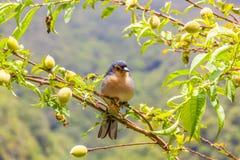 Madeiran vink stock afbeeldingen