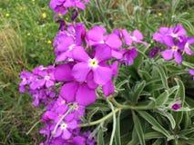 Madeiran voorraden die aan de oostelijke kant van het eiland bloeien stock afbeeldingen