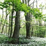 Madeiras brancas Nunburnholme Yorkshire do leste Inglaterra de Bratt do ursinum do alho/allium Imagens de Stock Royalty Free