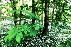 Madeiras brancas Nunburnholme Yorkshire do leste Inglaterra de Bratt do ursinum do alho/allium Fotografia de Stock