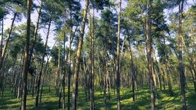 madeiras da árvore de floresta da calha do voo Alargamento de Sun Fundo da natureza filme