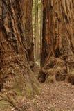 Madeiras de Muir Fotografia de Stock