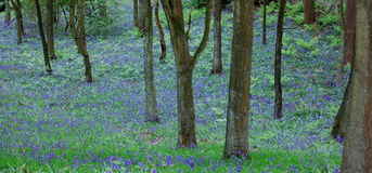 Madeiras do Bluebell foto de stock royalty free