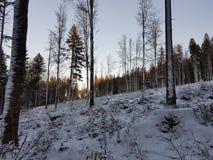 Madeiras e neve Foto de Stock
