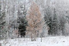 Madeiras fabulosas do inverno na neve Imagens de Stock