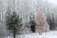 Madeiras fabulosas do inverno na neve Fotos de Stock