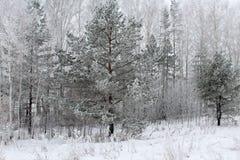 Madeiras fabulosas do inverno na neve Fotos de Stock Royalty Free