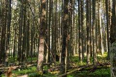 Madeiras no parque nacional de Tatra Imagem de Stock