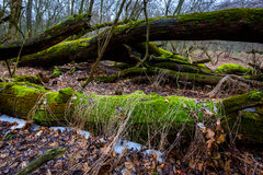Madeiras velhas na floresta profunda Imagem de Stock