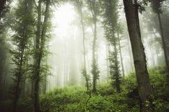Madeiras verdes com névoa após a chuva Fotos de Stock