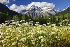 Madeliefjes bij het provinciale park van Robson van het Onderstel, Canada Stock Foto's