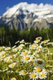 Madeliefjes bij het provinciale park van Robson van het Onderstel, Canada Stock Afbeelding