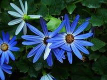 Madeliefjes in blauw Royalty-vrije Stock Fotografie