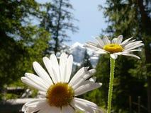 Madeliefjes in bloei met bergenachtergrond stock foto