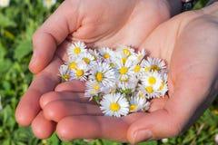 Madeliefjes in de lentegreep door vrouwelijke handen Royalty-vrije Stock Afbeeldingen