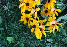 Madeliefjes in de tuin Stock Foto