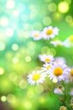 Madeliefjes in de tuin, groene bokehachtergrond Royalty-vrije Stock Foto