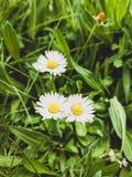Madeliefjes die op een grasachtergrond worden gebloeid royalty-vrije stock afbeeldingen