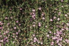 Madeliefjes die op Steenmuur groeien Stock Afbeeldingen