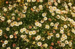 Madeliefjes en gras op Sunny Day Royalty-vrije Stock Foto