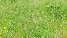 Madeliefjes en paardebloemen 6 stock fotografie