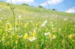Madeliefjes en veel andere wilde de zomerbloemen Stock Afbeelding