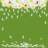 Madeliefjes met onzelieveheersbeestjes op groene achtergrond Stock Afbeelding