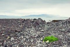 Madeliefjes op een rotsachtige kust van de Atlantische Oceaan Royalty-vrije Stock Afbeelding