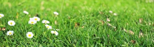 Madeliefjes op panoramisch grasgebied - Stock Afbeeldingen