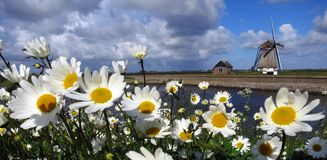 Madeliefjes op Texel  Η αγγλική Daisy σε Texel, Κάτω Χώρες στοκ φωτογραφία