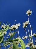 Madeliefjes op Texel  Η αγγλική Daisy σε Texel, Κάτω Χώρες στοκ εικόνα με δικαίωμα ελεύθερης χρήσης