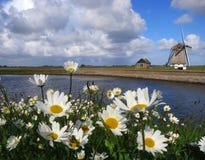 Madeliefjes OPtexel; Englisches Gänseblümchen auf Texel, die Niederlande lizenzfreie stockfotografie