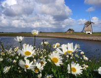 Madeliefjes Texel op; Margarida inglesa em Texel, Países Baixos fotografia de stock royalty free