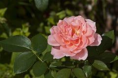Mademoiselle Caroline Rose Stock Photography