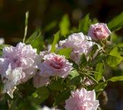 Mademoiselle Cecile Brunner pálida - amor rosado Rose del polyantha Foto de archivo
