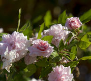 Mademoiselle Cecile Brunner pale pink polyantha Sweetheart Rose. Stock Photo