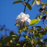 Mademoiselle entièrement enflé Cecile Brunner pâle - amoureux rose Rose de polyantha Images libres de droits