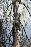 Madera, afectada por el escarabajo de corteza imagen de archivo