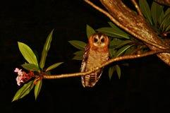 Madera-búho africano (woodfordii del Strix) Fotografía de archivo