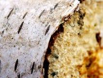 Madera de abedul blanco Imagen de archivo libre de regalías