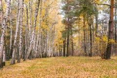 Madera de abedul con las hojas amarilleadas Fotos de archivo libres de regalías