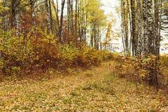 Madera de abedul con las hojas amarilleadas Imagenes de archivo