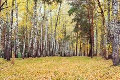 Madera de abedul con las hojas amarilleadas Foto de archivo