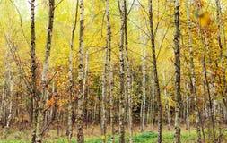 Madera de abedul con las hojas amarilleadas Imágenes de archivo libres de regalías